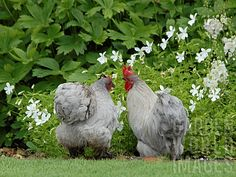CHICKENS IN THE GARDEN AT JACKSON'S WOLD - aren't they a gorgeous color?