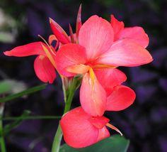 Canna by Habub3, via Flickr