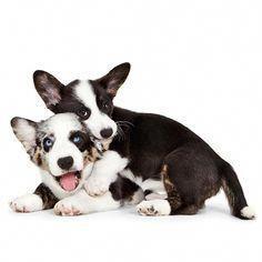 Pembroke Welsh Corgi Alert And Affectionate In 2020 Corgi Corgi Dog Welsh Corgi
