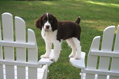 """English Springer Spaniel Pup ~ Classic """"Well Balanced"""" Look"""