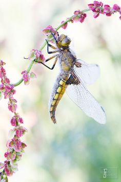 ᙢᏋяⱴᏋįℓℓɛųᎦɛ Ꮳяєαɬįσи (Dragonfly by Judith Borremans).
