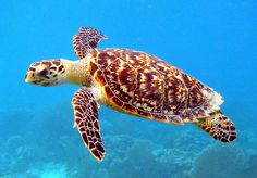 Hawksbill Sea Turtle. 20 Animals Near Extinction in the Wild!