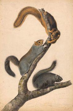 John James Audubon | 1785-1851 | Eastern Gray Squirrel | The Morgan Library & Museum