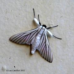 Black and white moth (awaiting ID) | Flickr - Photo Sharing!