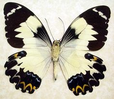 Papilio Euchenor Euchenor Real Framed Frilled Butterfly 8075