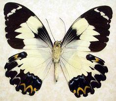 Papilio Euchenor Euchenor Real Framed by REALBUTTERFLYGIFTS, $39.99