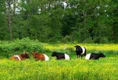 Image result for dutch belted cows