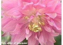 Aquilegia vulgaris 'Rose Barlow' - Akeleje