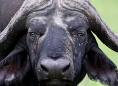 Meet Franky, the first known Cape buffalo to have blue eyes!