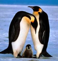 Pingüinos en familia!!