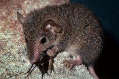 Antechinus stuartii or marsupial mouse. They 'switch off' in bushfires to preserve energy.