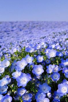Sea of lovely blue Forget-Me-Nots ... As far as your eyes can see! #Wildflower #Forget_Me_Not