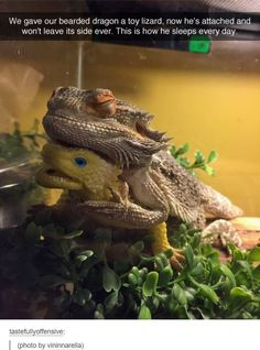 Funny pictures about Bearded Dragon Finds A Friend. Oh, and cool pics about Bearded Dragon Finds A Friend. Also, Bearded Dragon Finds A Friend photos. Cute Funny Animals, Funny Animal Pictures, Funny Cute, Hilarious Pictures, Funny Photos, Animal Intelligence, Bearded Dragon Funny, Bearded Dragon Habitat, Bearded Dragon Cage