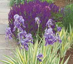 The partners in this duet put on a brilliant show all season long, with the elegantly striped leaves of Iris pallida 'Variegata' and the deep blue blooms of Salvia x sylvestris.