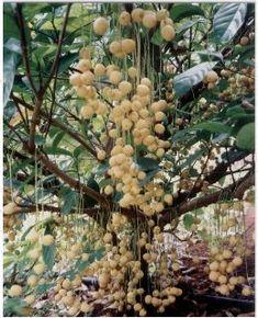 Burmese Grape tree also known as Baccaurea sapida fruit