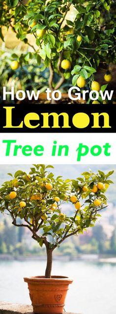 DIY Ideas: Grow a Lemon Tree in Pot