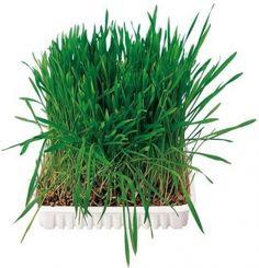 Livraison offerte dès 39€ pour l'achat de Herbe pour petits animaux -5€ de réduction sur votre première commande. Grass Rolls, Kitchen Window Sill, Cat Grass, Dog Weight, Pet Supplements, Pet Supply Stores, Grass Seed, Organic Seeds, Korn