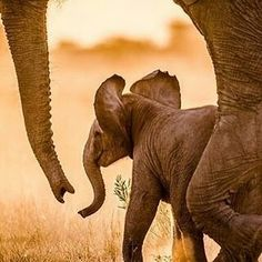 Adorable I love them ..!! Credit : @especiallyafrica - Life is beautiful . . For amazing elephant photos and videos follow @elephant.gifts #elephant #elephants #elephantlove