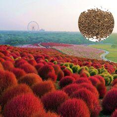 Afbeeldingsresultaat voor Kochia Burning Bush Seeds