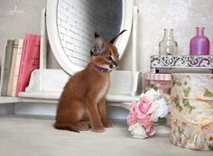 Caracal Kitten in her boudoir. (1)