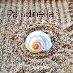#paludinella : #conchiglia di mare di un mollusco della famiglia dei gasteropodi. Ne esistono diverse specie secondo la zona di provenienza molte provengono dal Mar Mediterraneo. Ha forma a spirale globosa schiacciata e' liscia e di color ocra. Spesso quelle che si trovano in commercio come questa sono trattate con vernici lucide e perlescenti.  #shell #shellcollection #conchiglie #mare #sea #seashell #spiral #spirale #marmediterraneo #positivevibes #shellybeach #spiaggia #beach #zengarden…