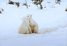 gif snow animals cute polar bear Cubs baby animals baby animal baby polar bear polar bear cubs seriously these babies are adorable i want to hug them i'd die though but eh