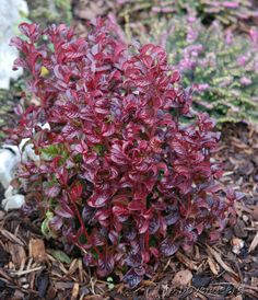 Leucothoe axillaris 'Curly Red' is a great evergreen shrub for use in shady locations and in container gardens. Winter Garden, Garden, Shade Garden, Evergreen Plants, Gardening Blog, Planting Plan, Shrubs, Container Gardening, Red Plants