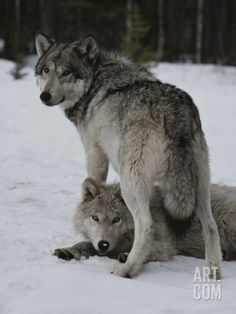 Gray Wolf Stands over a Pack Member Lying in Snow Photographic Print by Jim And Jamie Dutcher at Art.com