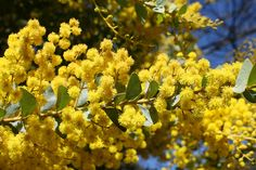 Acacia cultriformis (Knife-leaf Wattle) - cultivated
