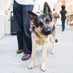 2 y/o), Waverly & Mercer St, New York, NY German Shepherds, German Shepherd Dogs, Guide Dog, My Spirit Animal, Husky, Mystery, Told You So, New York, Anonymous