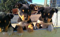 Kelpie My Big Love, Hound Dog, Working Dogs, Four Legged, Border Collie, Cattle, Cute Puppies, Fur Babies, Dog Breeds