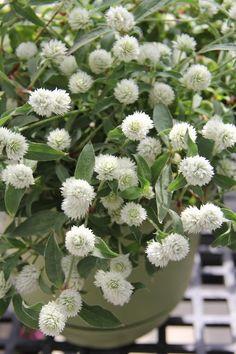 50 Gomphrena Pinball White Live Plants Plugs Garden Home Patio Planters 108 A #Gomphrena