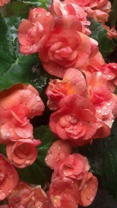 :Salmon Begonias