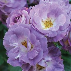 Rose 'Blue for You' (Floribunda Rose) - Shrubs & Roses - Thompson & Morgan