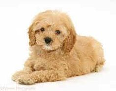 38 Best Cockapoo images in 2015 | Cockapoo, Dogs, puppies, Dogs