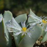Conophytum herreanthus | World of Succulents