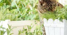 In diesem Beitrag erfahrt Ihr wie man einen sicheren Katzenbalkon mit tollen Katzenpflanzen, wie Katzenminze, Katzengamander, Katzengras und Baldrian anlegt.