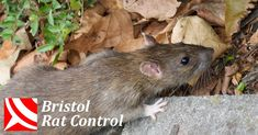 Bristol Pest Control: Rats Problems Under Your Shed? Pest Control: Rats Problems Under Your Shed? Rat Control, Best Pest Control, Pest Control Services, Pulling Weeds, Bees And Wasps, Mouse Traps, Pest Management, Humming Bird Feeders, Garden Guide