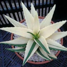 Aloe nobilis suvervariegated