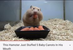 This Hamster Just Stuffed 5 Baby Carrots In His Mouth Cute Wild Animals, Cute Little Animals, Cute Funny Animals, Animals Beautiful, Animals And Pets, Funny Animal Jokes, Animal Memes, Funny Hamsters, Baby Hamster