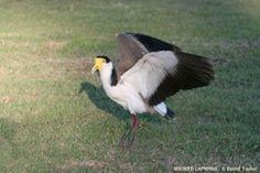 Masked Lapwing Australian Birds, Brisbane, Animals, Image, Animales, Animaux, Animais, Animal
