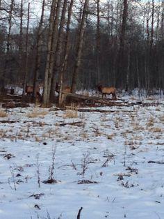 Elk at Elk Island National Park