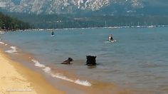 Mother Bear and her two Cubs play adorably in Lake Tahoe