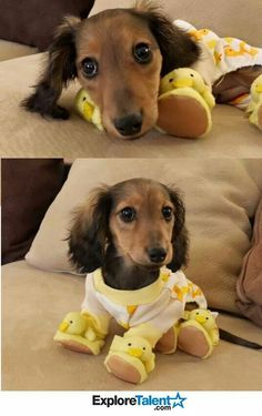 Knox ready for bed Dog Breath, Weenie Dogs, Doggies, Dachshunds, Pet Accessories, Cute Puppies, Scooby Doo, Corgi, Cute Animals
