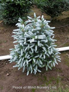 Abies koreana 'Silvershow' | Wholesale Nursery Supplies & Plant growers in Oregon | Nursery Guide