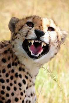 Share your cute animal pictures with us? Small Wild Cats, Big Cats, Cheetah Animal, My Animal, Pretty Animals, Cute Animals, Beautiful Cats, Animals Beautiful, Gato Grande