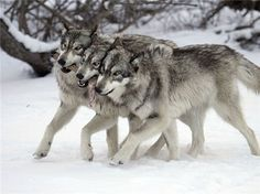 Well, wolves, actually, but still canis lupus, and still adorable.