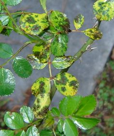 Will try this for my roses this year: A tonic for black spot and powdery mildew on roses   Roses, while beautiful, are often plagued with black spot or powdery mildew. I mix these ingredients into a tonic, which I spray on my roses: 2 teaspoons of baking soda and 1/2 teaspoon of liquid soap or Murphy's oil soap in 2 quarts of water. The tonic protects the roses for months.