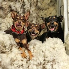The more the merrier! Hound Puppies, Cute Puppies, Dogs And Puppies, Australian Shepherds, West Highland Terrier, Scottish Terrier, Work With Animals, Cute Animals, Rottweiler
