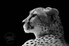 African Cheetah in Black and White - I need this on my wall!
